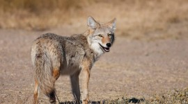 Coyote Wallpaper Download
