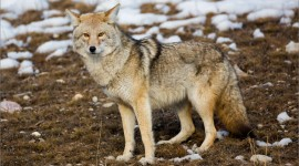 Coyote Wallpaper Download Free