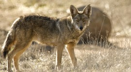 Coyote Wallpaper For PC