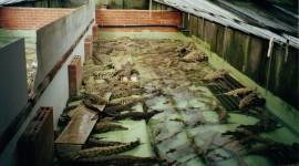 Crocodile Farm Desktop Wallpaper