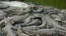 Crocodile Farm Desktop Wallpaper For PC