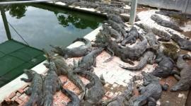 Crocodile Farm Wallpaper Download Free