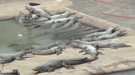 Crocodile Farm Wallpaper HQ