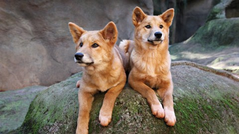Dingo wallpapers high quality