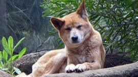 Dingo Photo