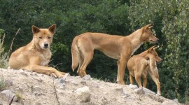 Dingo Photo Download#1