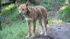Dingo Photo Free#1