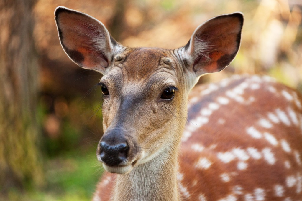 Fallow Deer wallpapers HD