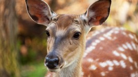 Fallow Deer Best Wallpaper