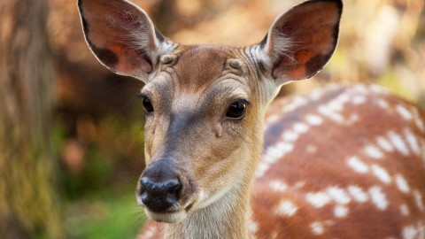 Fallow Deer wallpapers high quality