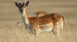 Fallow Deer Desktop Wallpaper