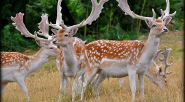 Fallow Deer Photo Free