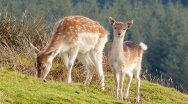 Fallow Deer Wallpaper For Desktop