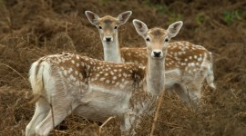 Fallow Deer Wallpaper Gallery