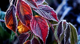 Frosting Autumn Leaves Photo Free