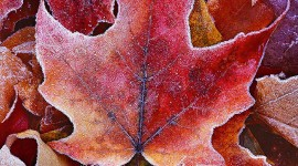 Frosting Autumn Leaves Wallpaper For Android