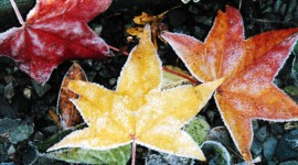 Frosting Autumn Leaves Wallpaper Free