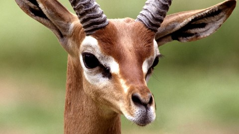 Gazelle wallpapers high quality