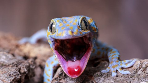 Gecko wallpapers high quality