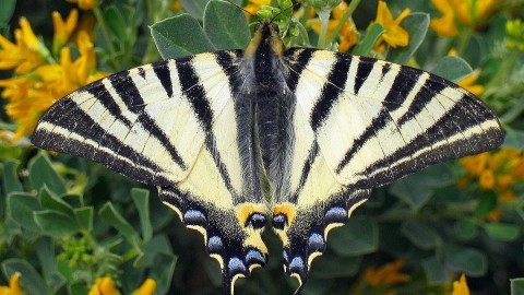 Iphiclides Podalirius wallpapers high quality