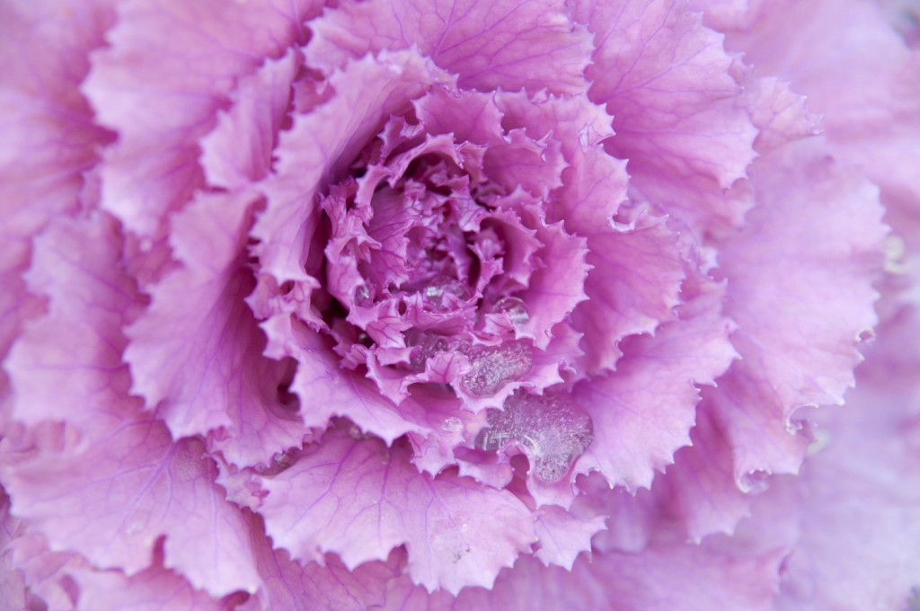 Kale Сabbage wallpapers HD