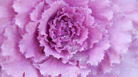 Kale Сabbage wallpapers high quality