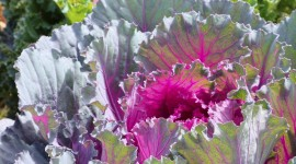 Kale Сabbage Wallpaper For Android