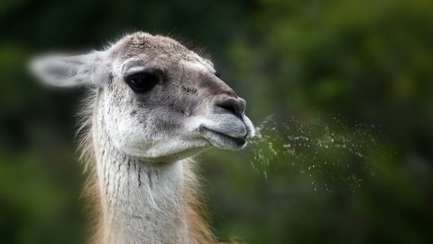 Lama wallpapers high quality