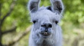 Lama Photo Free