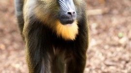 Mandrill Wallpaper For IPhone Download