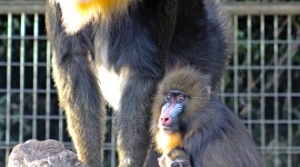 Mandrill Wallpaper For IPhone Free