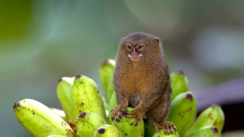 Marmoset wallpapers high quality
