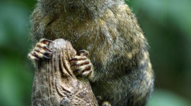 Marmoset Wallpaper For Android