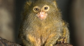 Marmoset Wallpaper For Mobile