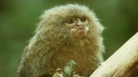 Marmoset Wallpaper For PC