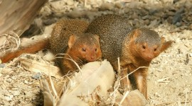 Mongoose Photo