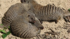 Mongoose Photo Download
