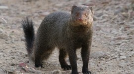 Mongoose Photo Free