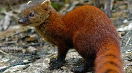 Mongoose Wallpaper Download