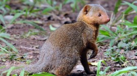 Mongoose Wallpaper For Android