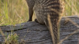 Mongoose Wallpaper For IPhone