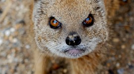 Mongoose Wallpaper For IPhone Download