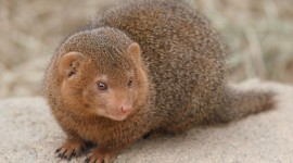 Mongoose Wallpaper For PC