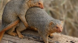 Mongoose Wallpaper Gallery