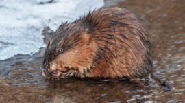 Muskrat Photo Download