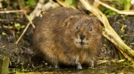 Muskrat Wallpaper Download