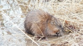 Muskrat Wallpaper Download Free