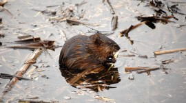 Muskrat Wallpaper For Desktop