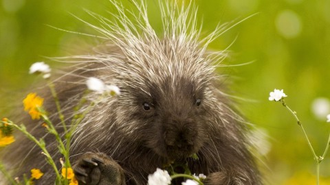 Porcupine wallpapers high quality