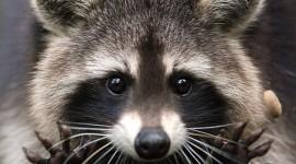 Raccoon Best Wallpaper